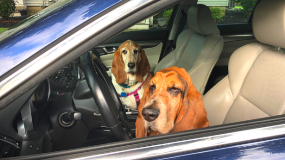 Josie and Runner, the basset hounds of the books and dogs blog